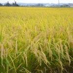 """Rice produced in Kumamoto """"Mori-no-kumasan"""""""