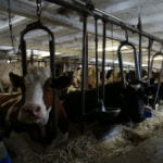 """North Plain Farm"" - milk produced on an organic pasture"