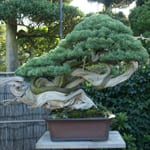 "Beauty of form created by nature, man and time. ""Bonsai Artist, Masahiko Kimura"""