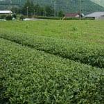 "Tea making that spares no effort ""Kawane Tea, Takada Farm"""