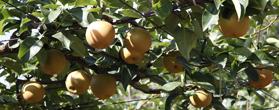 「梨屋 与佐ヱ門の梨」