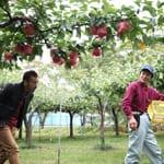秋田の新品種「秋泉」を作る 「加賀谷果樹園」