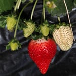栃木だけで食べられるいちご。「いちご農園 小島農園」